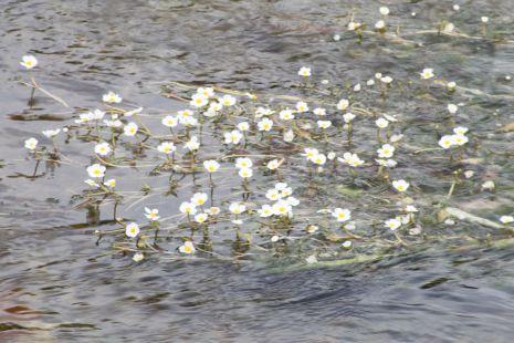 Florecillas acuaticas