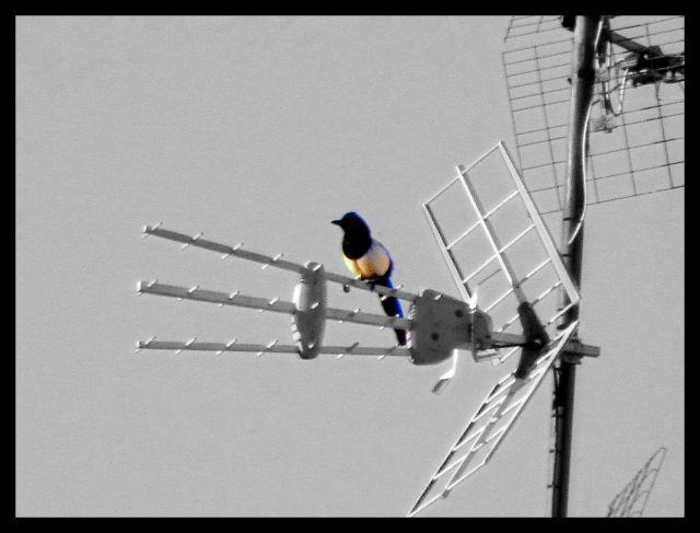 El pájaro del TDT