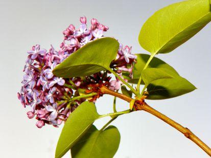 Lilas floreciendo