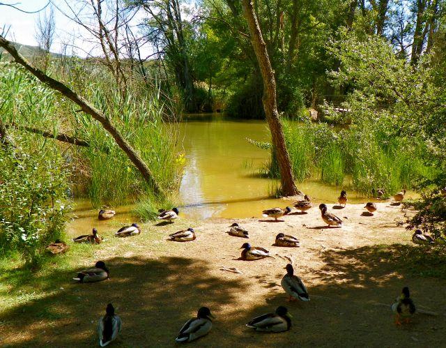 Siesta de patos