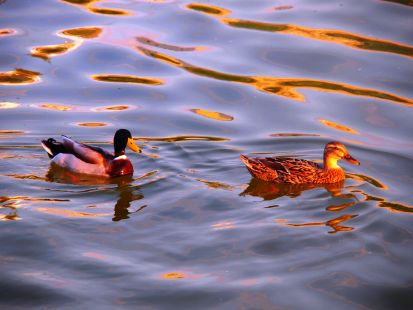 Patos del Parque La Ribera