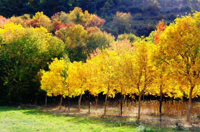 Nogales de otoño en Ojacastro