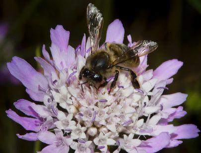 Abeja cargando polen